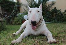 Bull .. / Bullterrier inglese