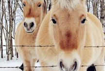 Norwegian Fjords horses