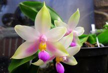 Phalaenopsis violacea & hybr