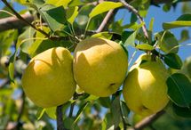 Fruit Trees / Everything you ever wanted to know about growing your own fruit trees. Bon Appetit!