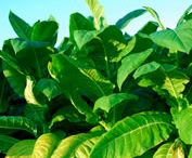 culture tobacco