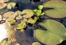 PŁ water lilies