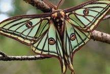 Moths -- don't get enough credit for their brilliance / by Nora Machado