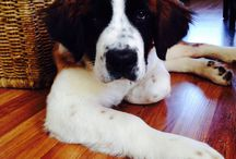 Our saint puppy