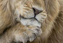 Animais - Leão
