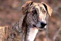 Magyar agár - Hungarian greyhound