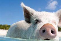 15 fotografii cu porcusorii din Bahamas / Majoritatea destinaţiile exotice se mândresc cu psibilitatea turiştilor de a înota cu delfini, cu broaşte ţestoase uriaşe, cu peşti multicolori, pisici de mare, rechini sau morse, însă puţini sunt cei care ştiu că în arhipelagul Exuma din Bahamas turiştii au posibilitatea să înoate alături de prietenoasele animale care s-au dovedit a fi foarte îndemânatice în arta înotului şi anume… porcii.