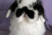 Rabbits / Holland Lops and cute bunnies