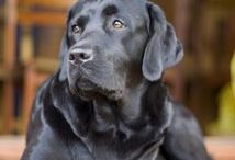 Loyal Labradors / by Leisa Wiggley