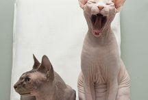 sphinx cat / by Ines Lacasa