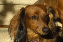 ... a time for Doxies & furry friends / by Jacqueline Weatherly