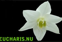 """G-Fresh grower Jovaplant / Grower Jovaplant is located in Naaldwijk with an area of 2 hectares in total. Here we grow cut flowers year round exclusive """"Eucharis"""" by our years of knowledge and experience in this crop, we can deliver a product from a high quality."""