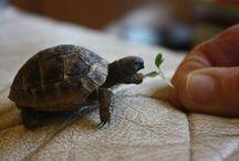 Terra Tortoises!!