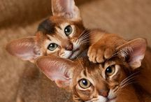 *The Abyssinian* / Abyssinian Cat Photography By Cat Lover / by Cat Lover