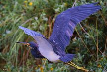 Tricolored heron and....