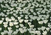 flori dalbe