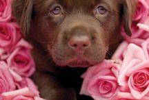 My puppy love / Chocolate Lab