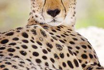 Cheetah / Gepard