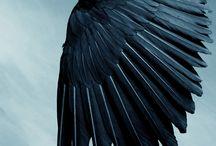 Aves Dark