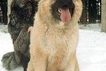 Cães de montanha caucasiano