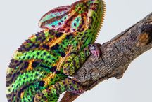 Check Out These Cool Chameleons !