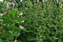 Ibišek lékařský,Koreninová a liečivá záhrada