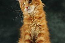Мейн-кун кошки