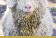 ANGORA Dalla capra alla lana / Angora, form goat to wool yarn