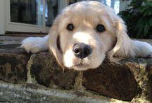 Goldens / Dogs, golden retrievers