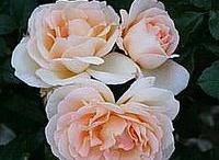Rose-mania