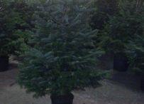 kerstbomen, nordman en blauwsparren