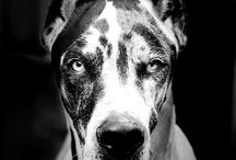 Great Danes AKA Dreat Granes / Biggest and Cutest Breed around