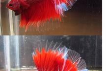 Beta Fish / Fish