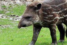 Tapirs and Rhinos