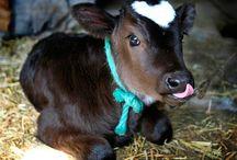 Cows / by Megan Mensch