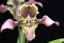Orchid Varieties / Orchids