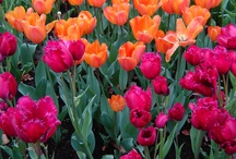 Tulips pics from Keukenhof Gardens / I took these pics. What a wonderful sight! / by Greenery Office Interiors Ltd