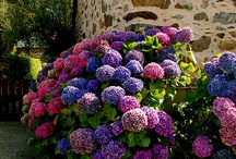 In my backyard! / Hydrangea plants that give your backyard a colourful boost!