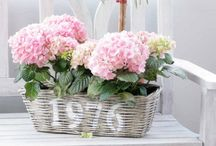 hortensia kukat