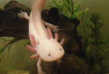 Axolotl ❤