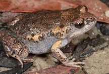 smooth toadlet