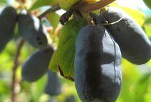 Honeyberry Haskap