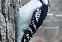 My woodpecker obsession / by Kathy Smith