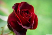 Flower HD Wallpaper / High Definition and High Quality Flowers Wallpaper