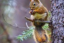 Oravat pörröhännät /Squirrels!