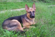 My German Shephard