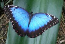 Vlinders/Butterfly's