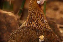 Shae's chickens / by Sara Iannuzzi