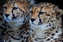Cheetah's :D / by Michael Viart