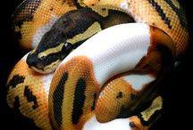 Ball Python Snakes